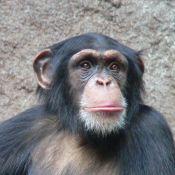 chimpThomasLersch